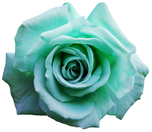 light-turquoise rose (clipart)