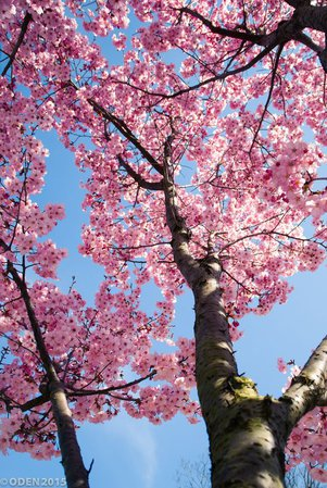 cherry blossom pink aesthetic