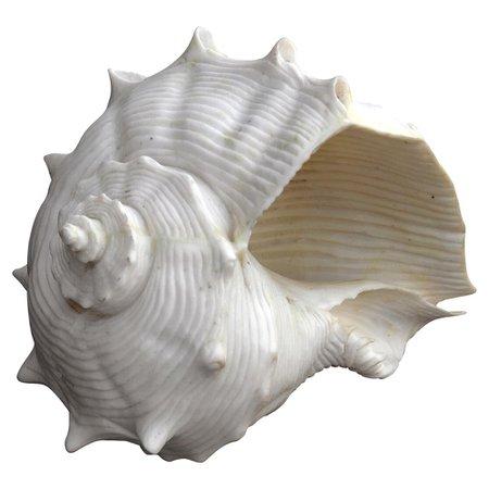 Oly Studio White Fiji Shell Decorative Ornament | Kathy Kuo Home