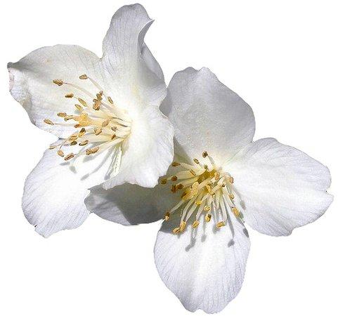 white flower png filler
