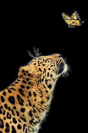 Lion Cartoon 500*750 transprent Png Free Download - Wildlife, Close Up, Jaguar.