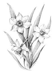 narcissus flower drawing - Google Search