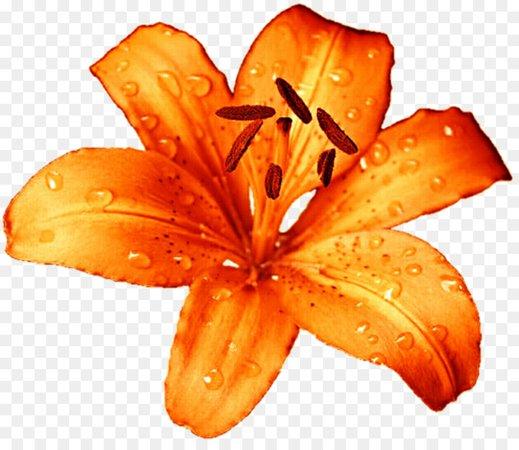 orange lily - Google Search