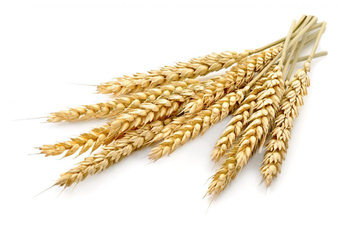 wheat spike