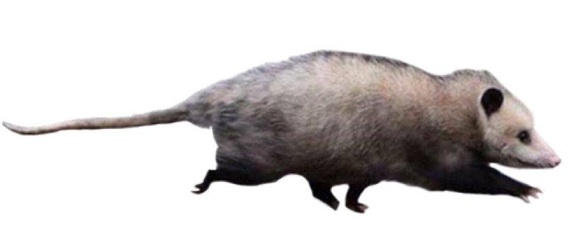 baby possum man