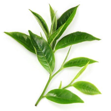 fresh green tea leaves