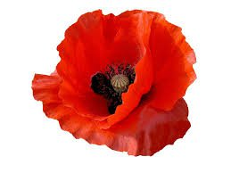 Free photo Petals Red Flower Outline Poppy Red Flower Flower - Max Pixel