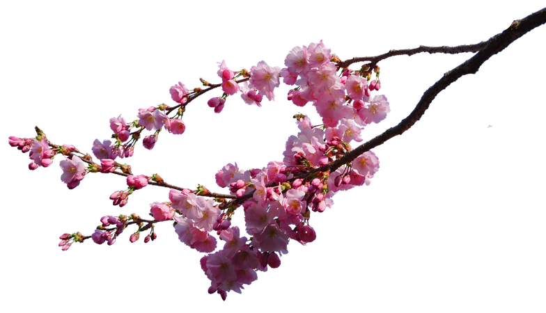 Flowering Cherry Blossom Branches