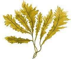 seaweed – Google Sök