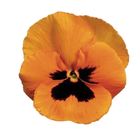 Yellow/Orange Pansy pngs