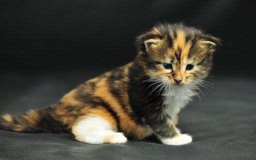 black, orange, & white Maine coon kitten