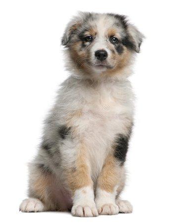 australian shepherd puppy transparent background - Google Search