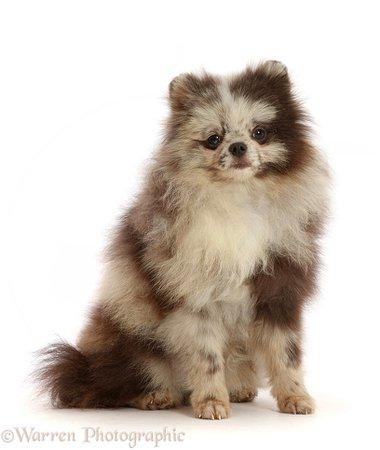 Dog: Merle Pomeranian puppy photo WP48416