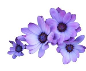purple flowers filler png aesthetic