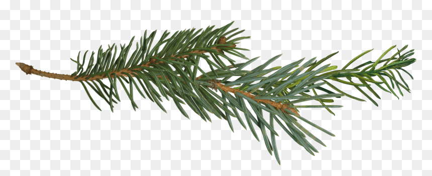 Pine Branch Tree Clip Art - Pine Tree Branch Png, Transparent Png - vhv