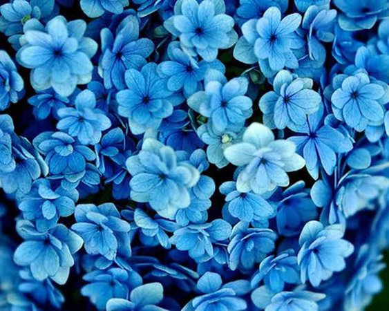 blue flower picture - Google Search
