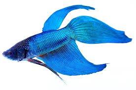 pretty fish png - Google Search