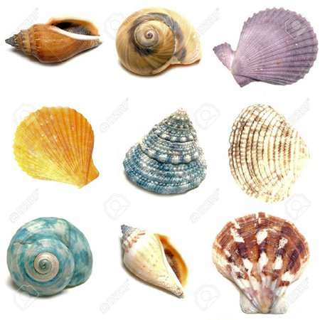 sea shells - Google Search