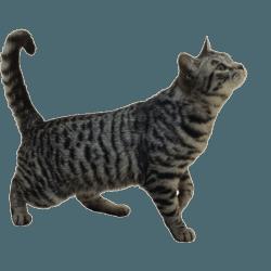 Tabby Cat pngs