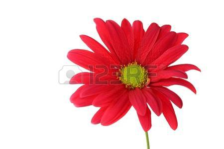 Single Red Chrysanthemum Daisy On White Background Stock Photo, Picture And Royalty Free Image. Image 8574670.
