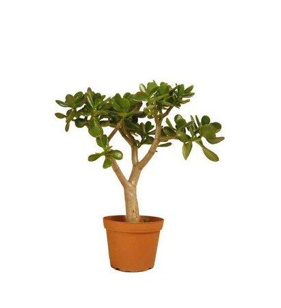 Jade Plant Succulent Crassula Ovata 16 to 18 Tall