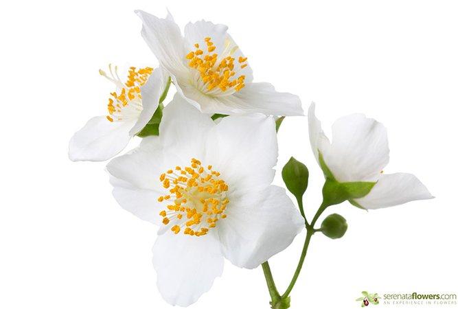 jasmine flower - Google Search