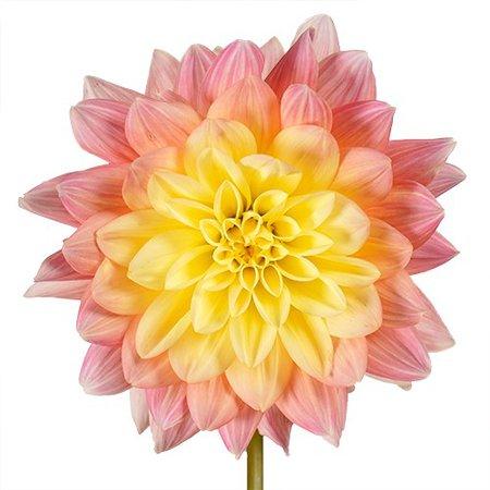 Baby Pink n Yellow Dahlia Flower | FiftyFlowers.com