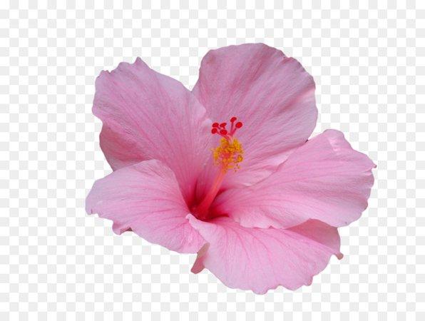 Havaianas Flor de hibisco Havaiano de hibisco-tronco Vegetais - flor rosa - Transparente Corderosa, Hibiscus, Planta, Flor, Pétala PNG Baixar