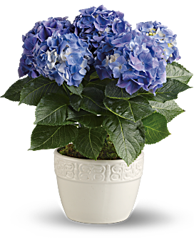 Order a Hydrangea Bouquet or Potted Plant | Teleflora