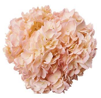 Bulk Pink Jumbo Hydrangea Flower for Sale