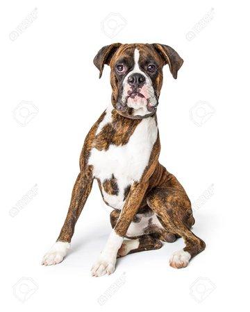 Beautiful Purebred Large Boxer Dog Sitting On White And Looking Forward Into Camera Fotos, Retratos, Imágenes Y Fotografía De Archivo Libres De Derecho. Image 107342635.