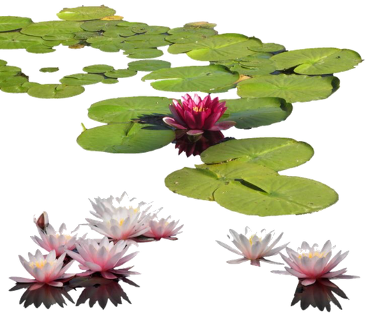 Lilypads png for moodboards