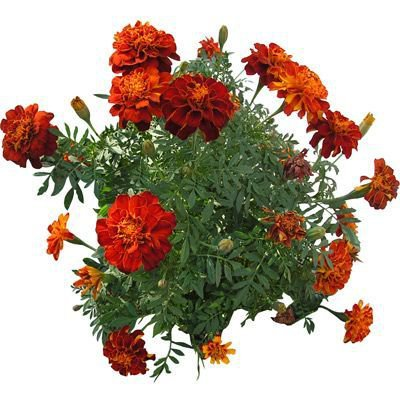 green red orange flowers png filler garden mood