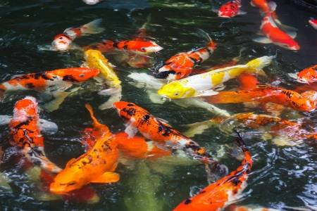 The Group Of Koi Carp Fish Swimming In The Pond Stock Photo, Picture And Royalty Free Image. Image 15053168.