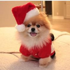 I'm Santa's elf...who's he? #dogs #pets #Pomeranians facebook.com/sodoggonefunny | Cute baby animals, Cute animals, Christmas puppy