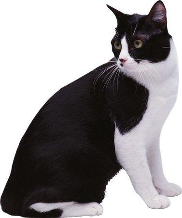 tuxedo cat png