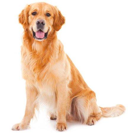 Golden Retriever Dog Breed Information | Temperament & Health