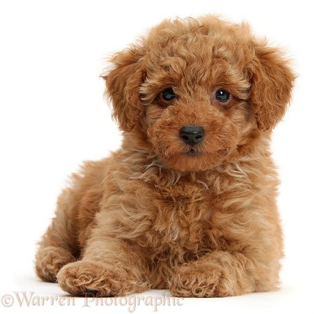 Dog: Cute red Toy Poodle puppy photo WP40748