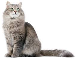 fluffy cat png - Google Search