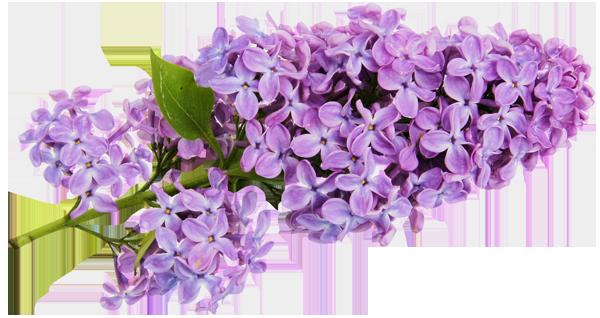 Lilac Flower Sprig