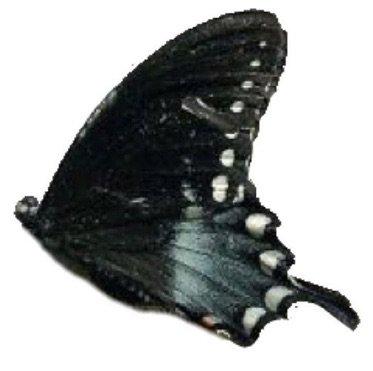 dark leftbutterfly