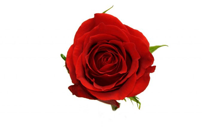 red rose - Google Search