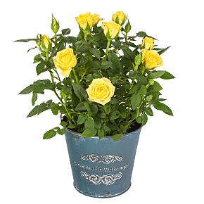 Buy House Plants & Indoor Plants Online | Serenata Flowers