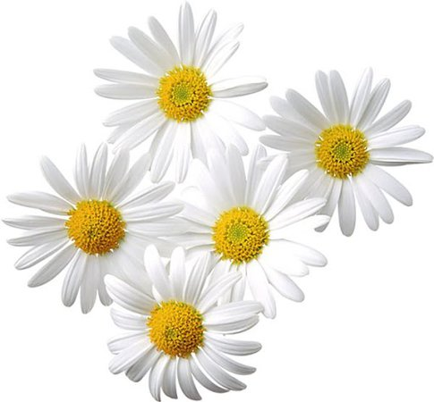 daisies transparent background - Google Search