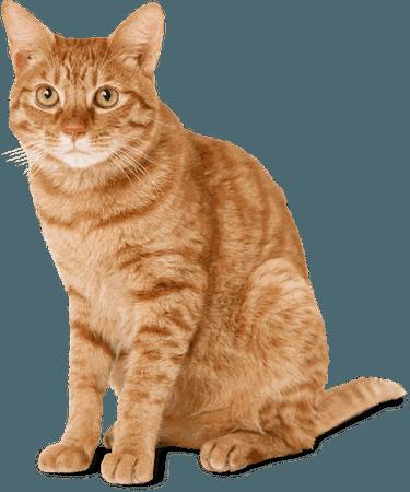 Cat Ginger transparent PNG - StickPNG