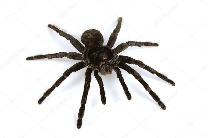 Black tarantula — Stock Photo © carlosphotos #12843987