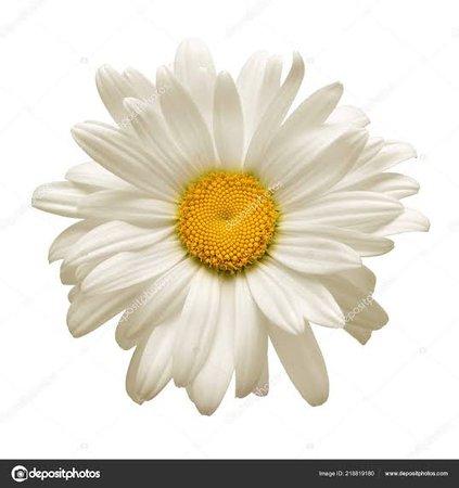 white daisy flower - Pesquisa Google