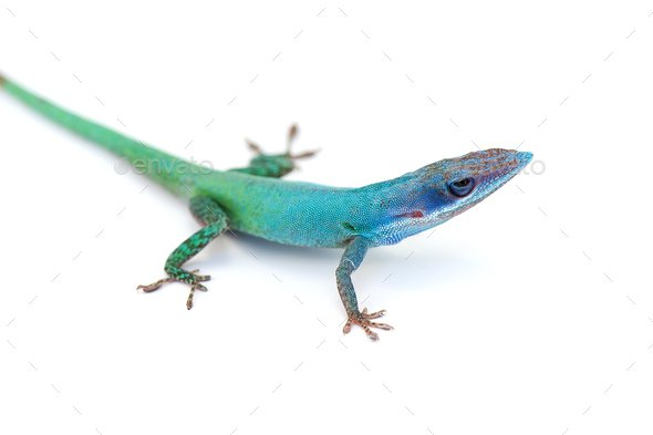 gecko lizard isolated on white background Stock Photo by PetlinDmitry