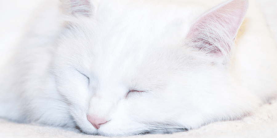 Inherited Deafness in White Cats | International Cat Care