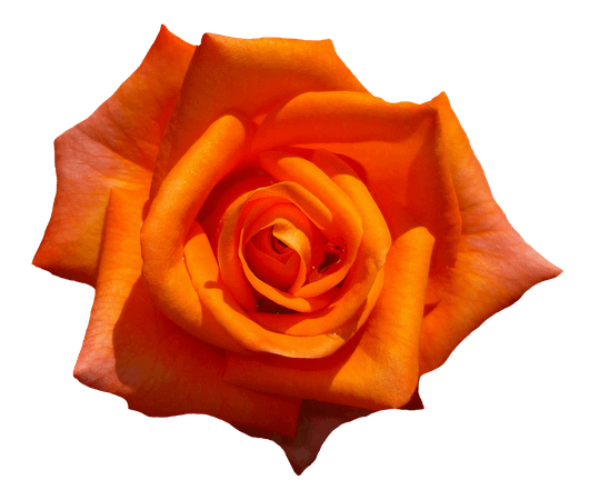 Orange Rose (Clipart)